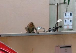 monkey, Mysore