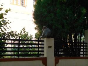 monkey Mysore